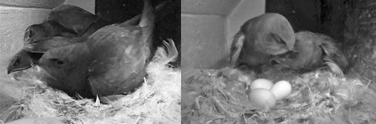 Swifts in nest box
